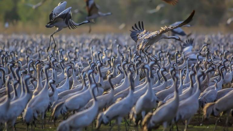 Miles de grullas en el parque de Hula. Foto de FLASH90.