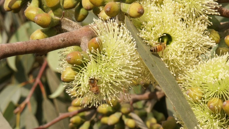 Abeja en un eucalipto (Eucalyptus Stricklandii). Foto de Pablo Chercasky, director del vivero Gilat/KKL-JNF.