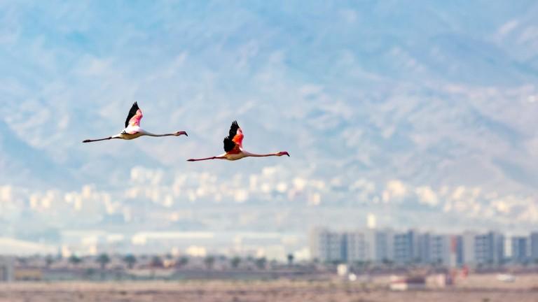 Flamencos sobre las salinas de Eilat. Foto de Boris Vetshev/Shutterstock.com.