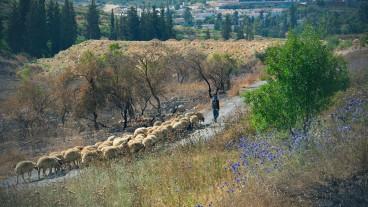 """""""Ovejas en Abu Gosh"""", por Elad Matityahu."""